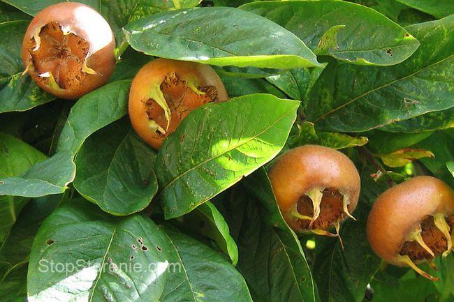 Мушмула - фрукт екзотичний, корисний і дієтичний
