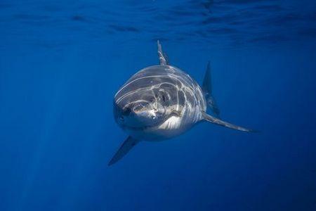 Чи допомагає акулячий жир від болів в суглобах