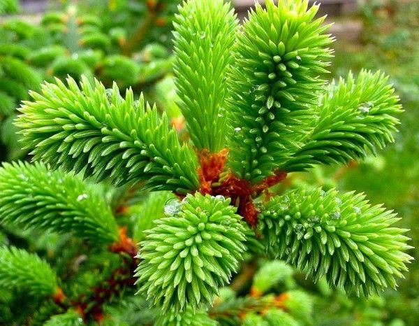 Секрети ефективного лікування гангрени народними засобами