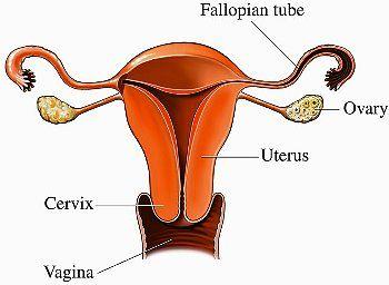 Шийка матки при вагітності на ранніх термінах
